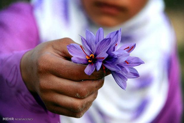برداشت زعفران در افغانستان